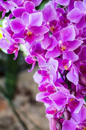 Photo for Beautiful orchid flowers in garden - Royalty Free Image