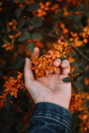 Photo for Partial view of hand holding autumn yellow blossom flowers - Royalty Free Image