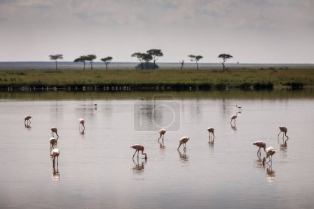 Group of flamingo birds on lake with acacia trees in background during safari in Serengeti National Park, Tanzania. Wild nature of Africa