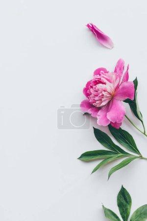 Foto de Vista superior de la flor de la peonía rosa hermosa con hojas aisladas en blanco - Imagen libre de derechos