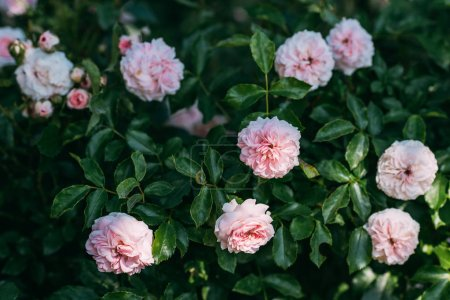 close up view of light pink rose flowers on bush