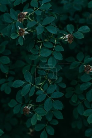 dried rose flowers on bush with green leaves