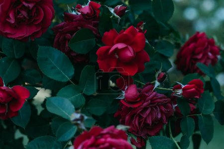 close up view of red rose flowers