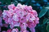 """Постер, картина, фотообои """"закрыть из ботанических Цветки розовые розы"""""""