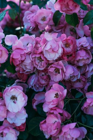 close up view of pink rose flowers on bush
