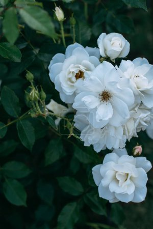 close up view of white rose flowers on bush