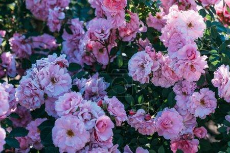 close up view of pink rose bush