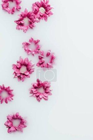 top view of beautiful pink chrysanthemum flowers in milk backdrop