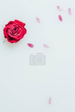 top view of red rose and petals in milk background