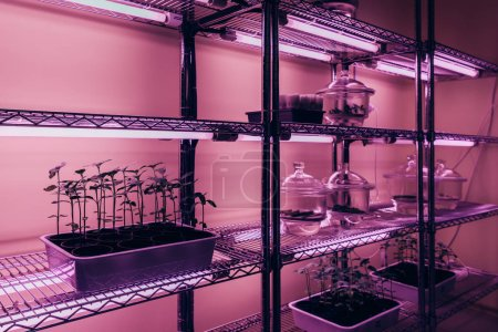selective focus of potted plants on shelves in biotechnology laboratory with ultra violet light