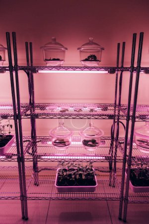 selective focus of glass containers with plants on shelves in agro laboratory with ultra violet light