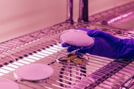 Photo for Cropped image of scientist closing petri dish with leaves in agro laboratory with ultra violet light - Royalty Free Image