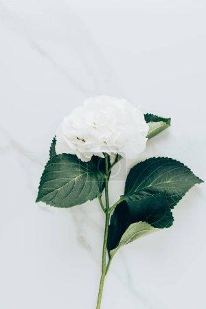 vue de dessus de la fleur d'hortensia blanc avec feuilles sur la surface du marbre