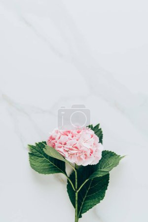 top view of pink hydrangea flower with leaves on marble surface