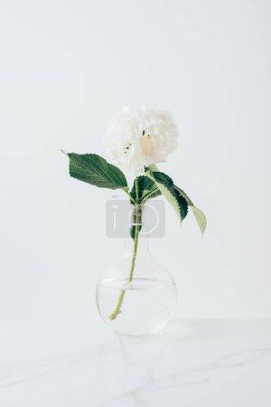 Foto de Flor blanca flor de Hortensia en florero de cristal, en blanco - Imagen libre de derechos