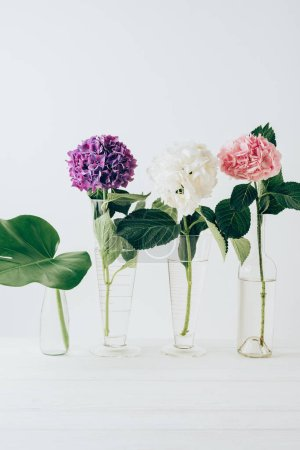 blooming hydrangea flowers and monstera leaf in glass vases, on white