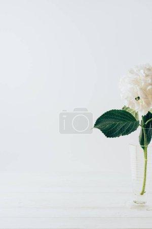 white blooming flower of hydrangea in glass vase, on white