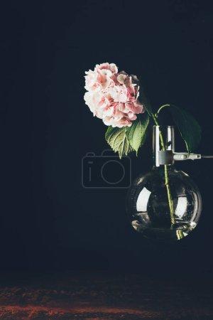 pink hortensia flower in glass vase, on black