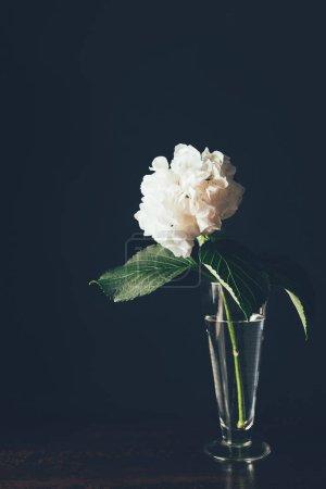 white hortensia bloom in glass vase, on black