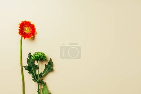 top view of gerbera and chrysanthemum flowers on beige backdrop