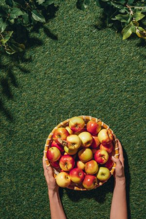 cropped view of woman holding wooden bowl with apples on green grass with apple tree leaves