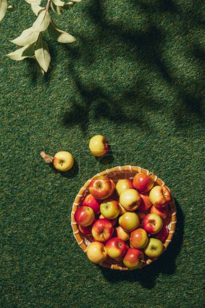 organic apples in wicker bowl with apple tree leaves on green grass
