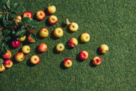 Top view of apples with apple tree leaves on green grass background