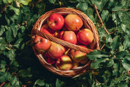 Photo for Red apples in wicker basket on apple tree leaves - Royalty Free Image