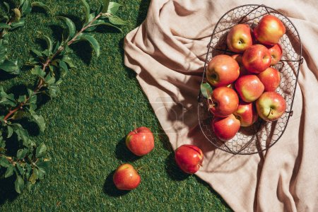 red apples in metal basket on sacking cloth with apple tree leaves on grass