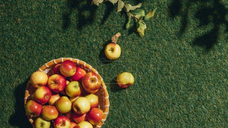 organic apples in wicker basket with apple tree leaves an grass