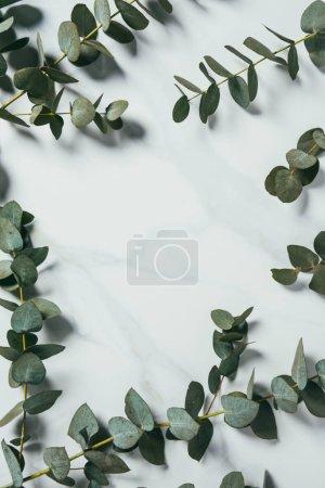 Photo pour Vue de dessus des feuilles d'eucalyptus sur fond blanc - image libre de droit