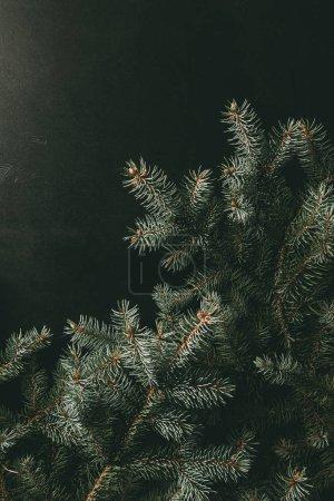 Foto de Ramas de abeto verde sobre fondo negro - Imagen libre de derechos