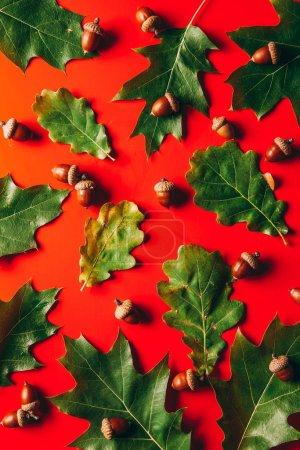 full frame of green oak leaves and acorns arrangement on red background