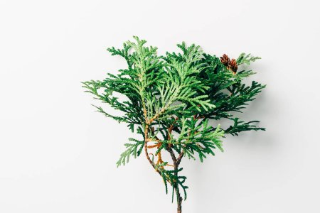 top view of green pine tree branch on white background