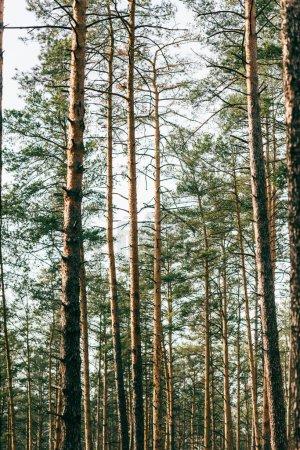 Photo pour Belle vue sur les pins élevés en forêt - image libre de droit