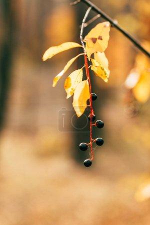 orange autumn foliage with berries on blurred background