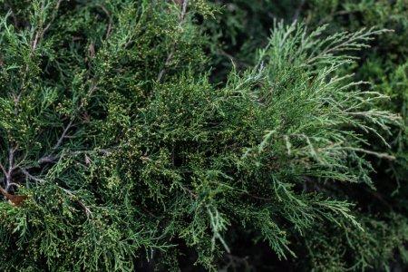 Photo pour Image plein cadre de cyprès arbre branches fond - image libre de droit