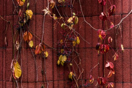 selective focus of colorful autumnal leaves with grapes near red wall