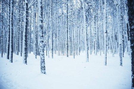 Photo pour Forêt d'hiver enneigé. Fond extérieur du paysage hiver Nature. Tonifié. - image libre de droit
