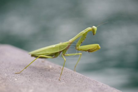 Praying mantis, mantis religiosa , closeup. Island...