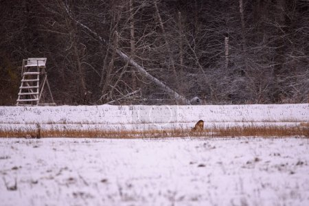 Photo pour Roe deer trying to find some feed on snow covered field at countryside. - image libre de droit