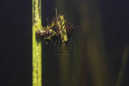 Kaddisfliege Larven unter Wasser in der gebauten Heimat. Trichoptera. (Caddisfly) genannt. Unterwasserfotografie. Lebensraum Fluss. Lebensraum See.