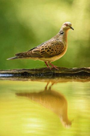 Photo pour Tourterelle - Streptopelia turtur, belle colombe colorée des bois européens, montagnes Rodope orientale, Bulgarie . - image libre de droit