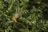 Common Squirrel Monkey - Saimiri sciureus, beautiful primate from South American forest.