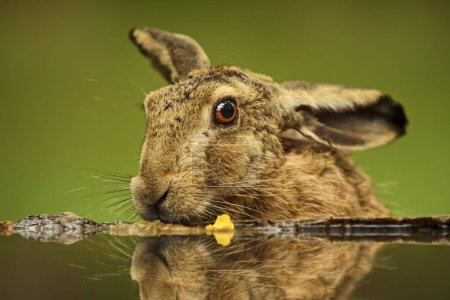 Photo for Brown Hare - Lepus europaeus, common hare from European grasslands, meadows and fields. - Royalty Free Image