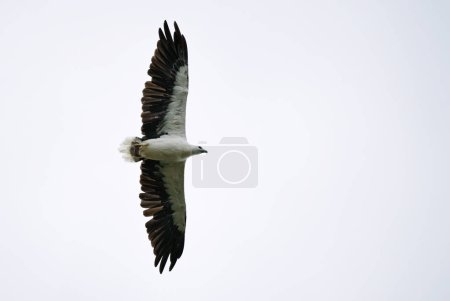 Photo pour Poisson à ventre blanc-eagle--Haliaeetus leucogaster survolant le lac dans le Parc National de Thaïlande - image libre de droit
