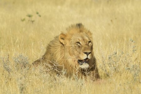 Photo pour Lion - Panthera leo, animal emblématique des savanes africaines, parc national d'Etosha, Namibie. - image libre de droit