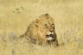 """Постер, картина, фотообои """"Лев - Panthera leo, знаковых животных от африканских саванн, Национальный парк Этоша, Намибия."""""""