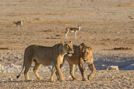 Foto de León - Panthera leo, animal icónico de las sabanas africanas, Parque Nacional Etosha, Namibia . - Imagen libre de derechos