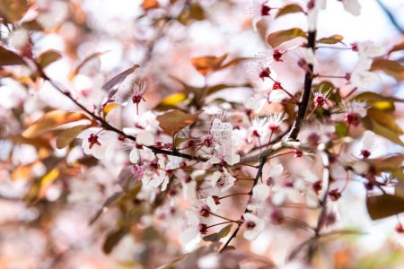 Photo for Close-up view of beautiful blossoming cherry tree branch, selective focus - Royalty Free Image